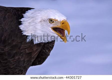 The cry of a bald eagle - stock photo