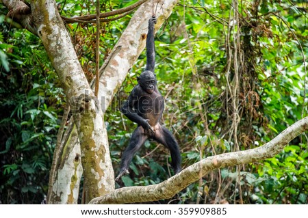 The cub of Bonobo frolics in branches of trees. Natural conditions of dwelling.The cub Bonobo on a tree branch. Chimpanzee bonobo ( Pan paniscus). Congo. Africa - stock photo