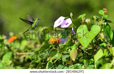The Cuban Emerald in flight. Cuban Emerald Hummingbird (Chlorostilbon ricordii), Cienaga de Zapata, Cuba - stock photo
