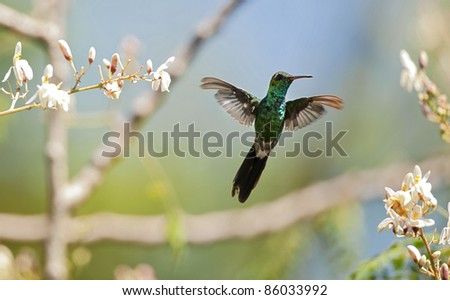 The Cuban Emerald in flight. Cuban Emerald Hummingbird (Chlorostilbon ricordii), Cienaga de Zapata, Cuba - stock photo