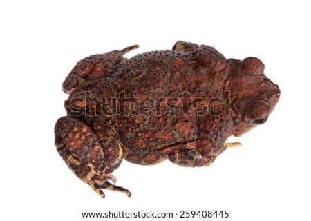 The Cuban toad, Bufo peltocephalus, isolated on white - stock photo
