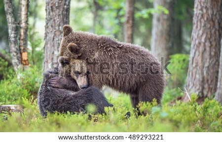 The Cubs of Brown bears (Ursus Arctos Arctos)  playfully fighting, The summer forest. Natural green Background