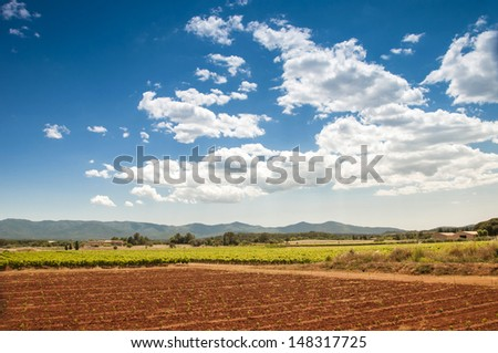 The cultivated grapes - stock photo