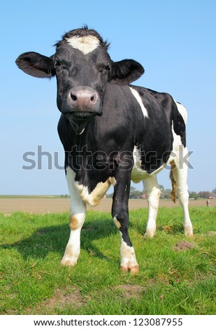 The curious cow - stock photo