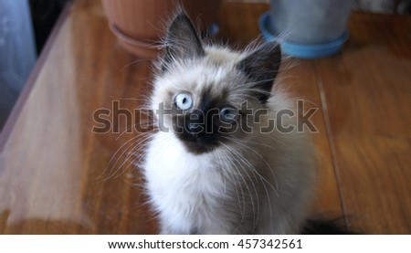 the curious kitten, cat with blue eyes, a Siamese kitty,kitten with blue eyes , a cat with a black muzzle,kitten of color of coffee , black pads, a cat on a table, a cat robber,tender kitten.