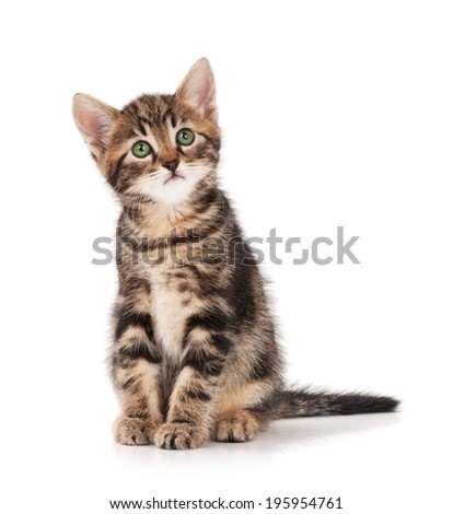 The curious little siberian kitten over white background