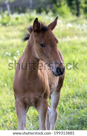 the curious perky foal brown color on green grass pasture - stock photo