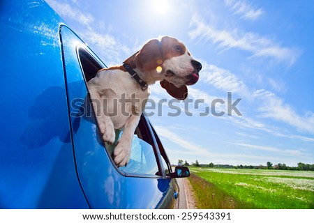The cute beagle  travels in  blue car. - stock photo