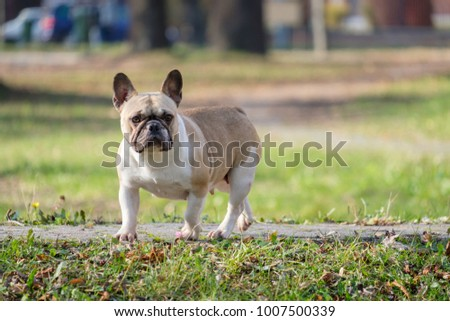 The cute French Bulldog in autumn outdoor grass