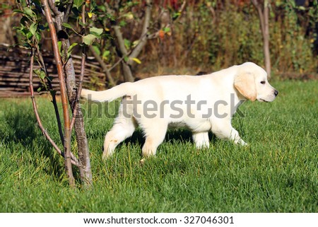 the cute nice little yellow labrador puppy in green grass in summer