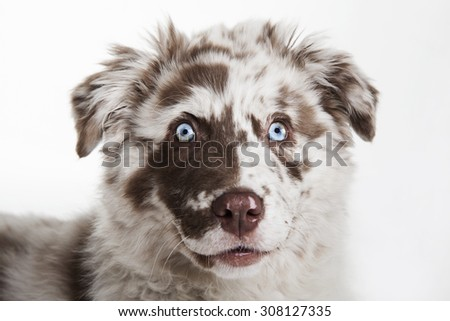 The cute puppy dog of Australian Shepherd,isolated on white background, waiting and smiling - stock photo