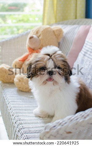 The cute puppy shih-tzu while sitting