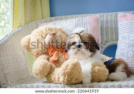 The cute puppy shih-tzu while sitting with doll - stock photo