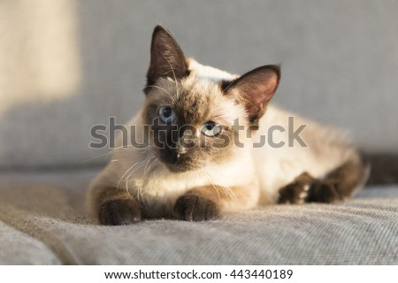 The cute Siamese cat