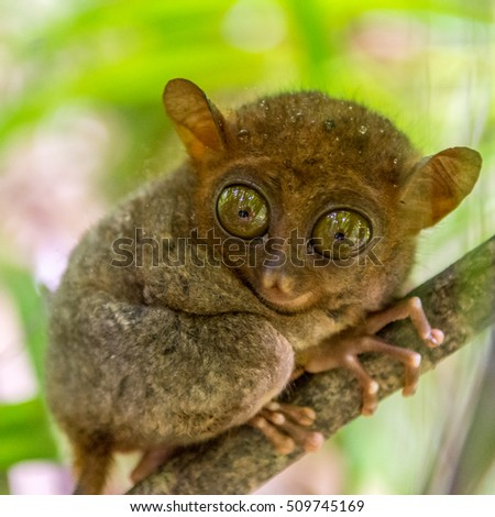 the cute tarsier sitting on a branch with green leaves, the smallest primate in the world at Bohol of the Philippines.