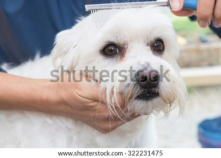 The cute white Maltese dog is in dog salon. Dog is combing by female groomer and is looking to the camera.