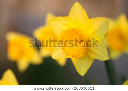 The daffodil. A bright yellow flower in nature - stock photo