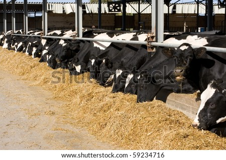 The dairy cows life in a farm. Dairy cows are reared for milk production. On average, a cow in a dairy herd will produce 28-30 bottles of milk per day. - stock photo