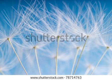The Dandelion. Macro photo of light seeds over light blue background. - stock photo