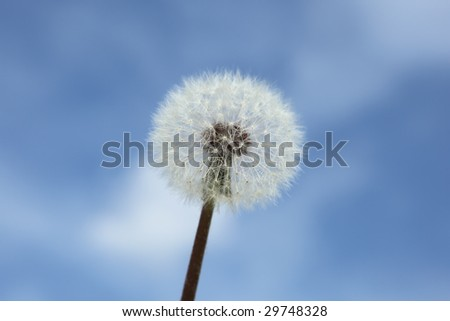 The Dandelion on blue sky background covered by the sun
