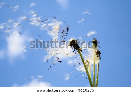 the dandelion seeds flying with down wind - stock photo