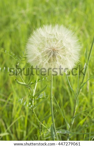 The dandelion spherical white seeds - stock photo