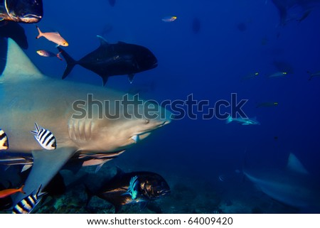 The dangerous big Bull shark from Pacific ocean with piece of fish in mouth shouted at thirty meters depth - stock photo
