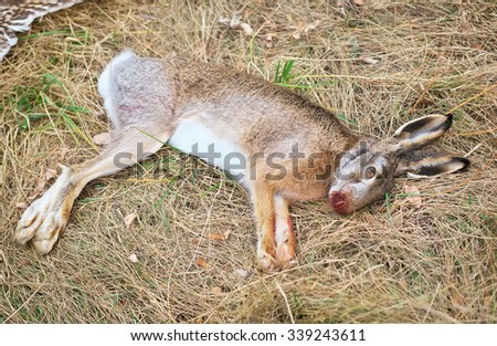 The dead hare on the grass. Hunting scene with dead hare - stock photo