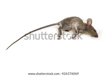 The dead mouse on white background for rat die animal background concept - stock photo