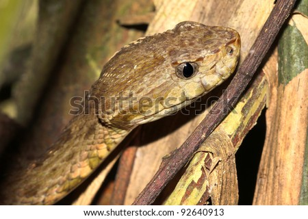The DEADLY Common Lancehead, aka  Fer-de-Lance, Barba Amarilla (Bothrops atrox) in the Peruvian Amazon This is known to be the most dangerous snake in all of South America! - stock photo