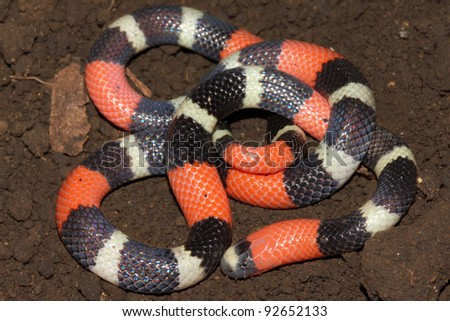 The DEADLY  South American Coral Snake (Micrurus lemniscatus) in the Peruvian Amazon - stock photo