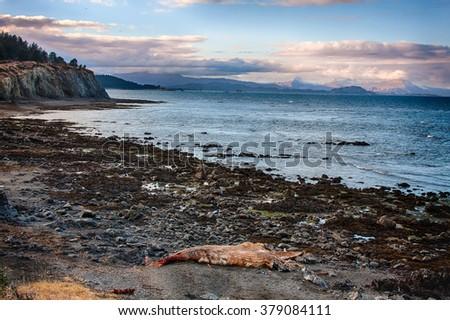 The decomposing carcass of a juvenile humpback whale lays on the beach on Kodiak Island, Alaska - stock photo