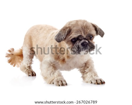 The decorative amusing small beige doggie of breed of a shih-tzu - stock photo