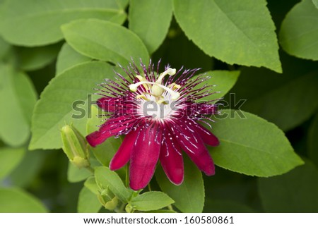 The deep hues of the Passiflora (Lady Margaret) shine against the green leaves - stock photo