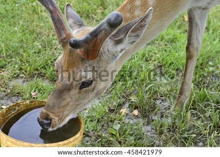 The deer drinks a water from pail.
