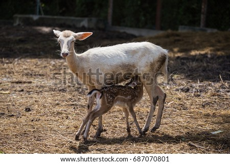 The Deer Feeding Its Child
