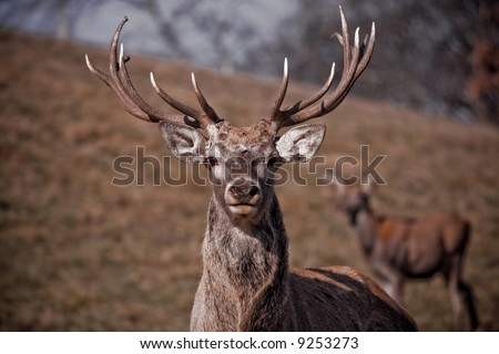 The deer in the brown coarse grass - stock photo