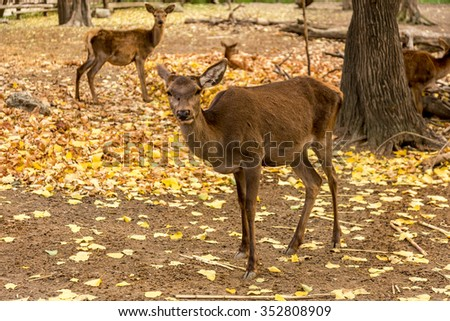The deer in the pen on the farm, herd of deer resting in yellow autumn foliage of the park. Males dropped deer antlers. Selective Focus - stock photo