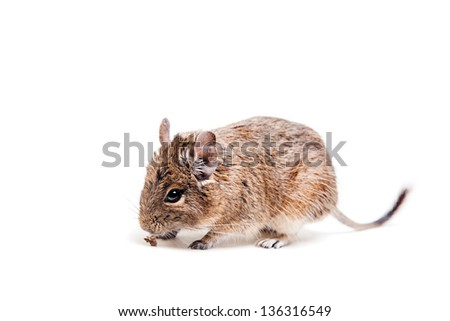 The Degu (Octodon degus) or Brush-Tailed Rat, isolated on the white background