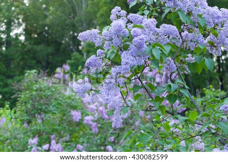 The delicate Bush of lilac in the Park. Spring the lilacs bloomed in the gardens. Beautiful light purple flowers on the tree. - stock photo