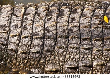 The detail of crocodile skin texture - stock photo