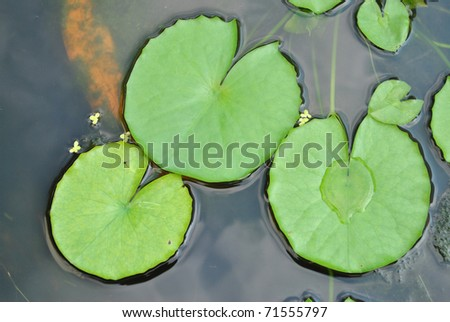 The details of huge lotus leafs over water - stock photo