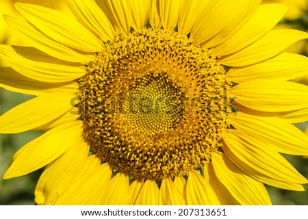 The details of sunflower