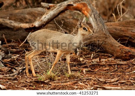 The dik dik antelope. - stock photo