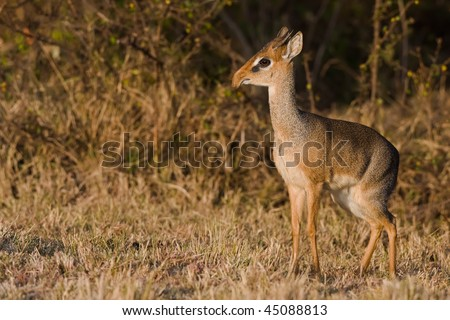 the dik dik antilope - stock photo