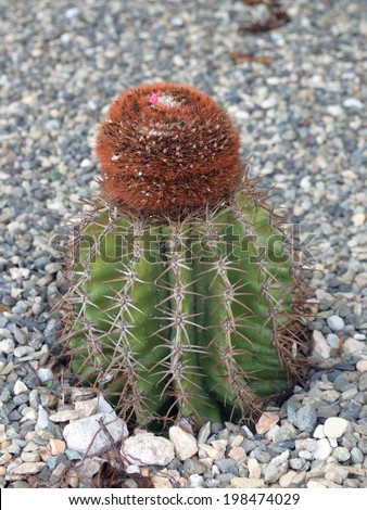 """The distinctive turks head cactus for which """"Turks and Caicos"""" islands are named - stock photo"""