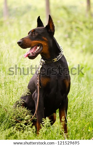 The Doberman Pinscher, a guard dog - stock photo