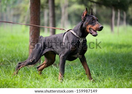 The Doberman Pinscher, an outstanding Hound - stock photo