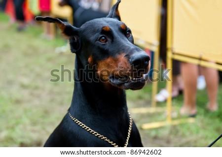 The Doberman Pinscher is a breed of domestic dog originally developed around 1890 by Karl Friedrich Louis Dobermann. - stock photo