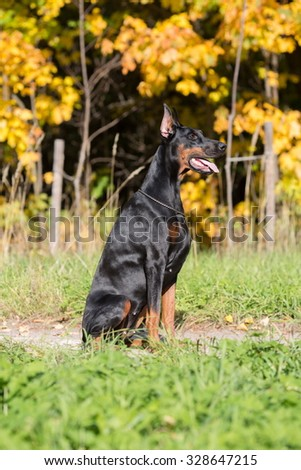 The dobermann with lead is sitting on a walkway in park.